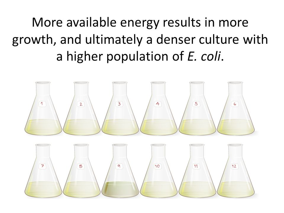 More available energy results in more growth, and ultimately a denser culture with a higher population of E.