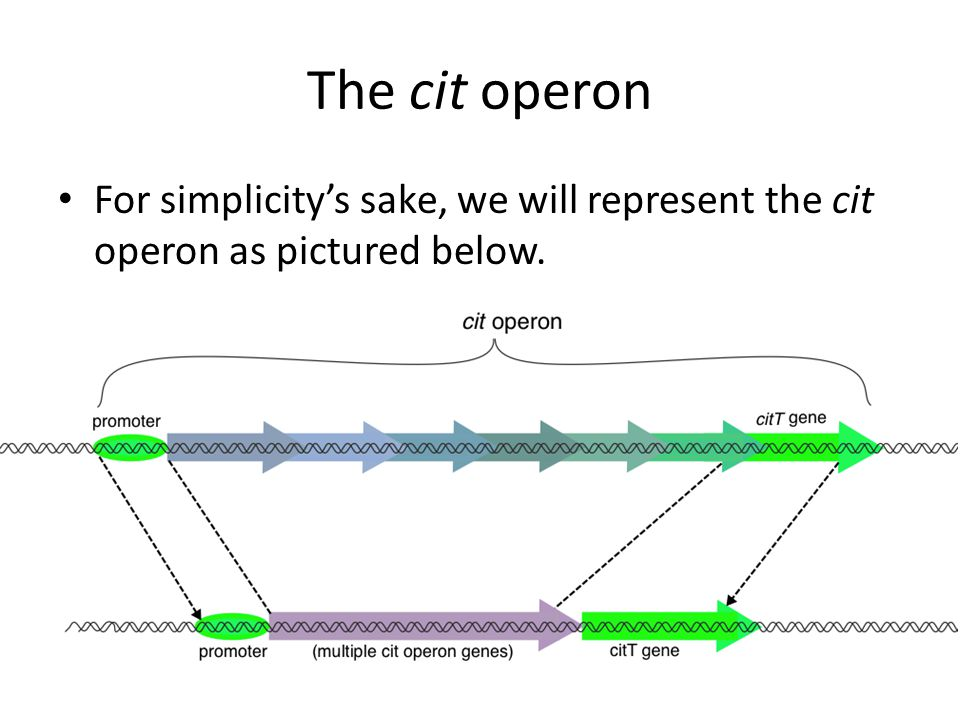 The cit operon For simplicity's sake, we will represent the cit operon as pictured below.