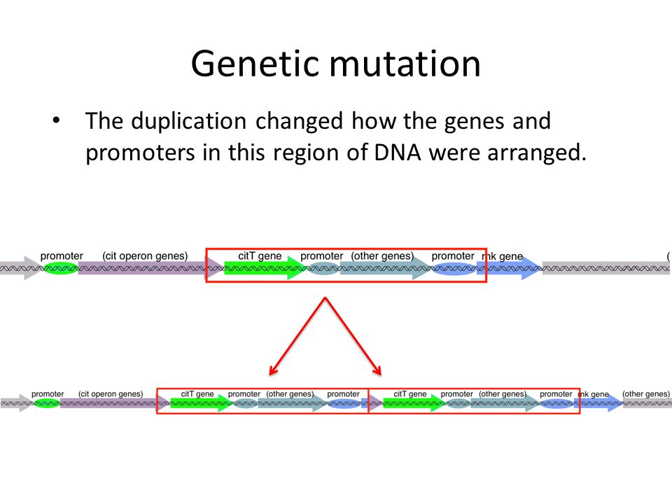 Genetic mutation The duplication changed how the genes and promoters in this region of DNA were arranged.