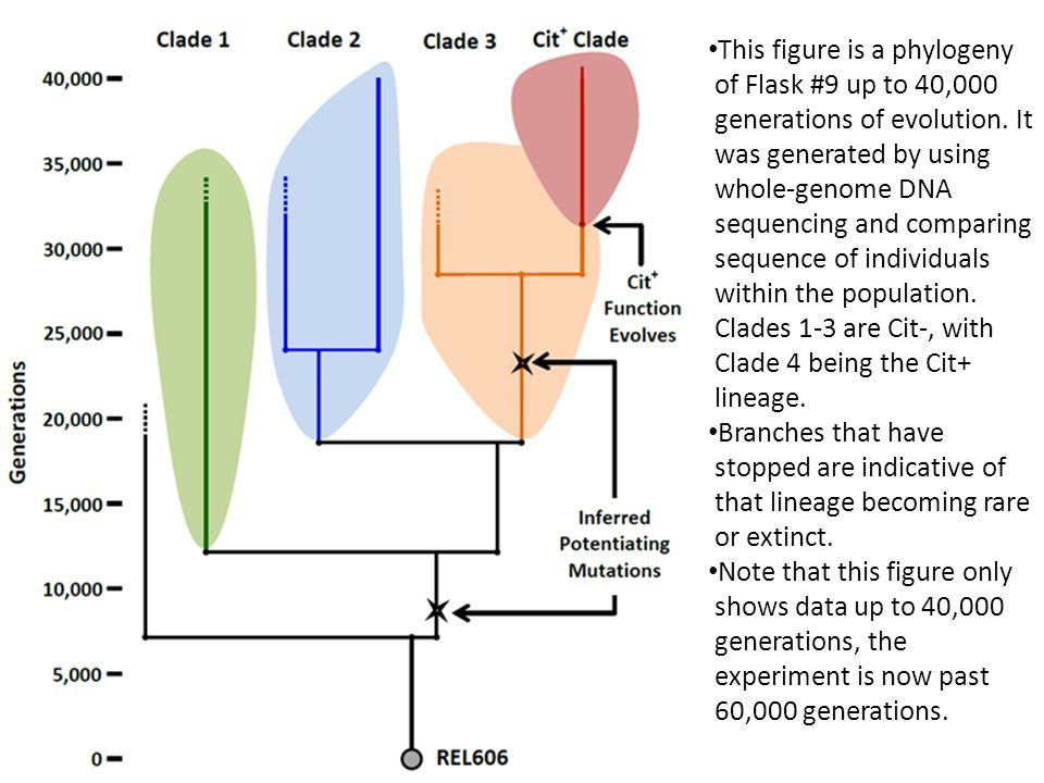 This figure is a phylogeny of Flask #9 up to 40,000 generations of evolution. It was generated by using whole-genome DNA sequencing and comparing sequence of individuals within the population. Clades 1-3 are Cit-, with Clade 4 being the Cit+ lineage.
