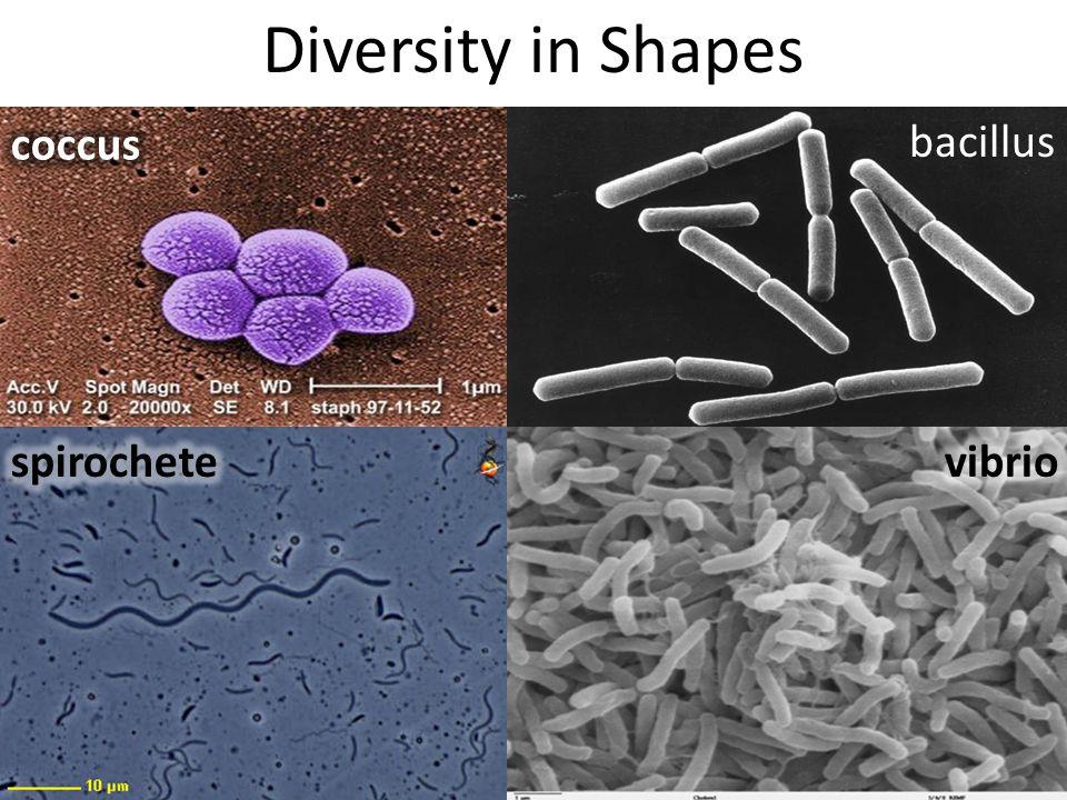 Diversity in Shapes coccus bacillus spirochete vibrio