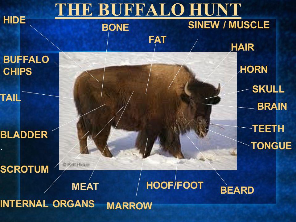 THE BUFFALO HUNT HIDE SINEW / MUSCLE BONE FAT HAIR BUFFALO CHIPS HORN