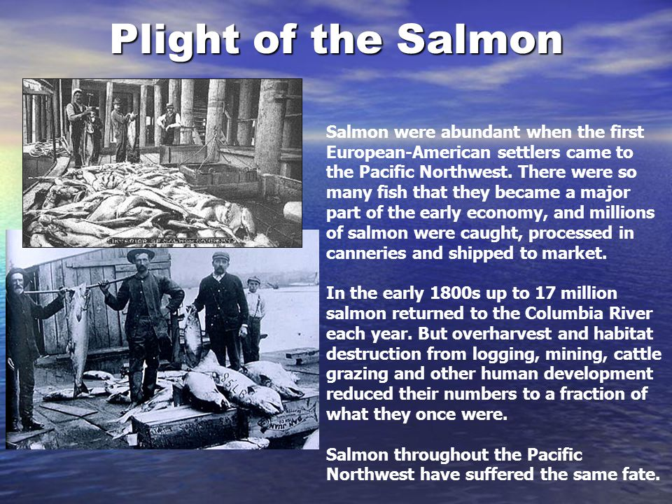 Plight of the Salmon