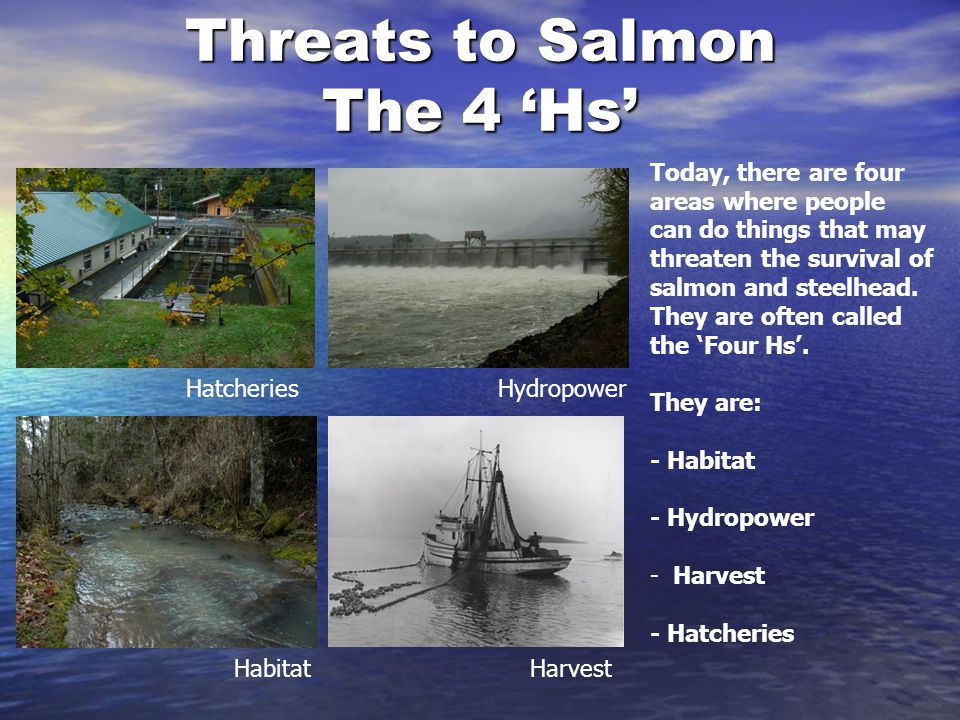 Threats to Salmon The 4 'Hs'