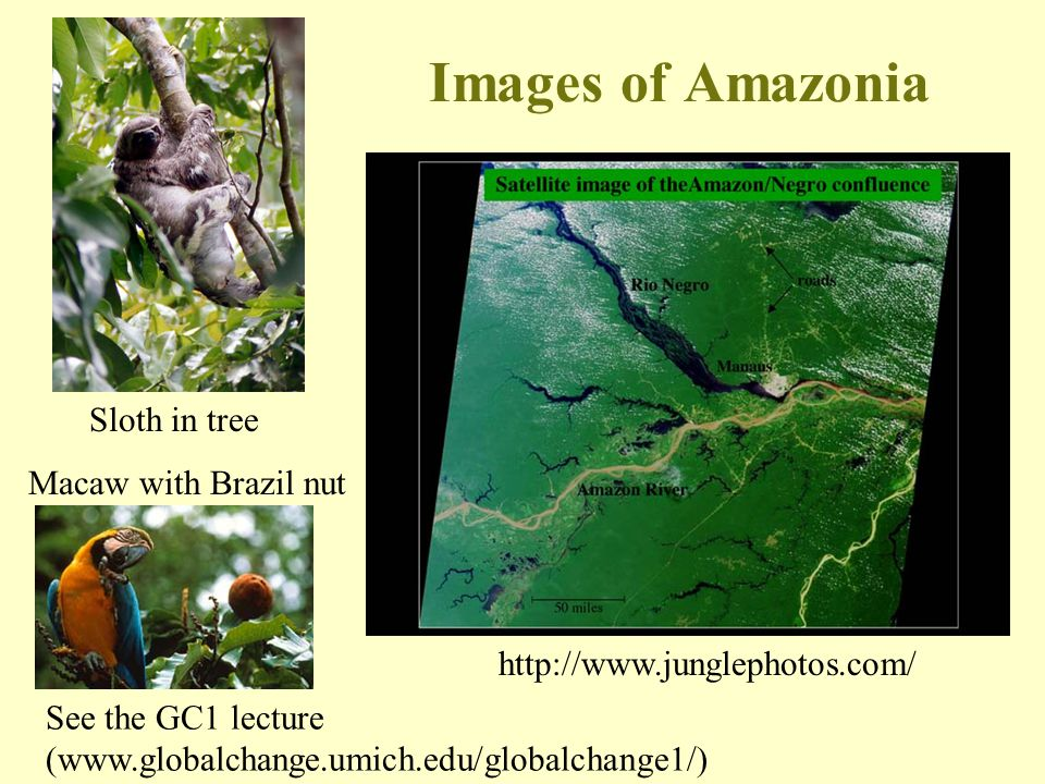 Images of Amazonia Sloth in tree Macaw with Brazil nut
