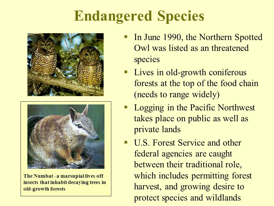 Endangered Species In June 1990, the Northern Spotted Owl was listed as an threatened species.