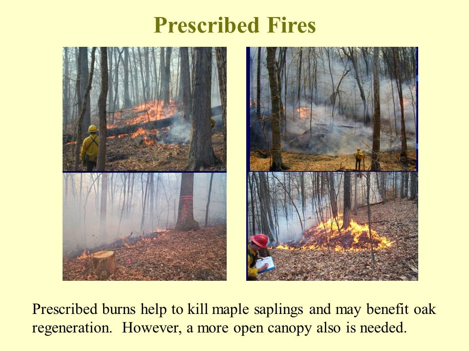 Prescribed Fires Prescribed burns help to kill maple saplings and may benefit oak regeneration.
