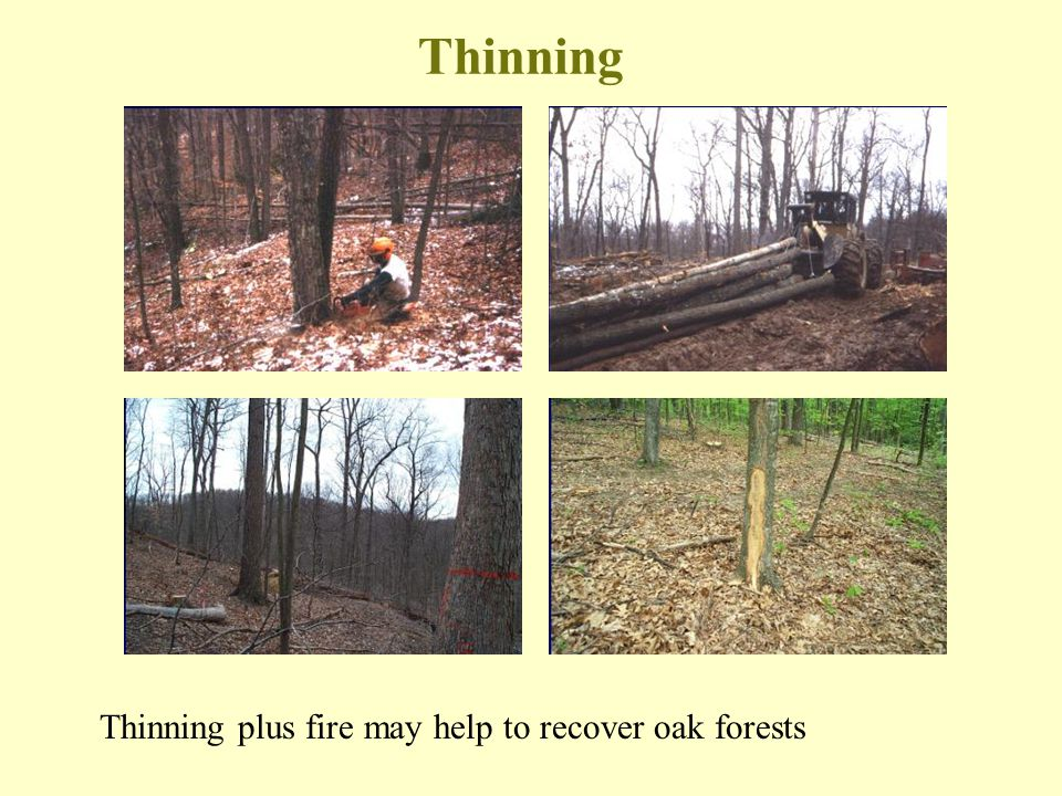 Thinning Thinning plus fire may help to recover oak forests