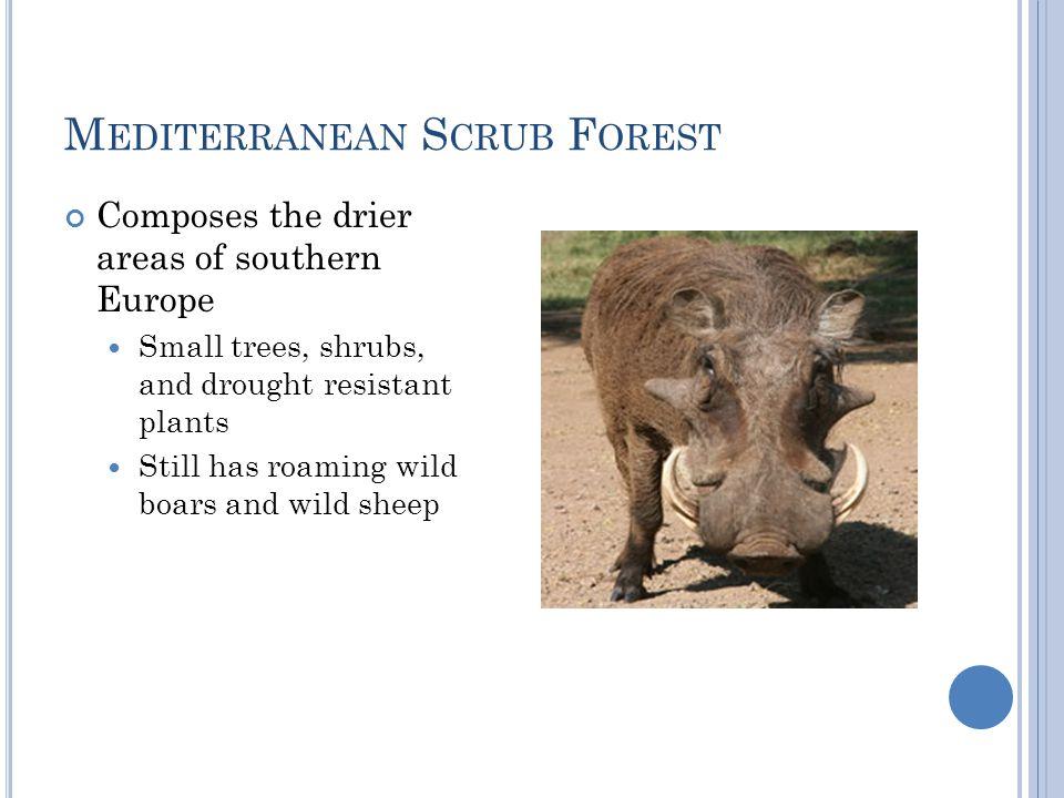 Mediterranean Scrub Forest