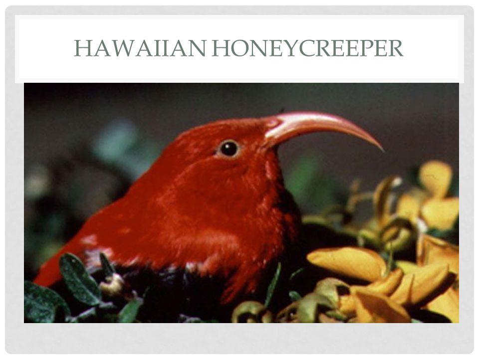 Hawaiian honeycreeper