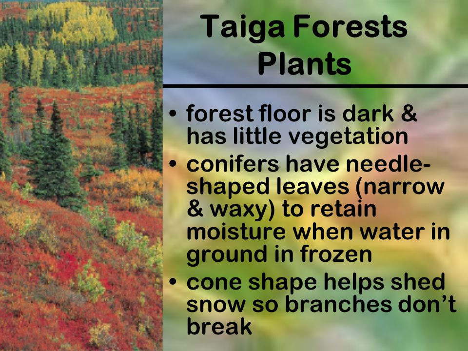 Taiga Forests Plants forest floor is dark & has little vegetation