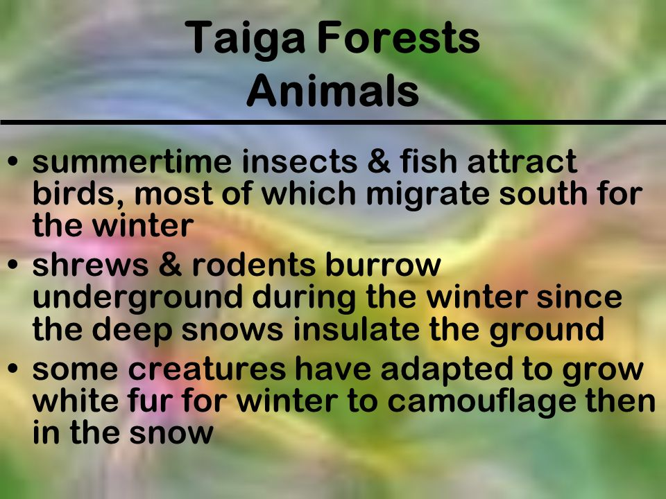 Taiga Forests Animals summertime insects & fish attract birds, most of which migrate south for the winter.