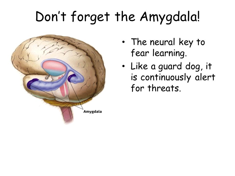 Don't forget the Amygdala!