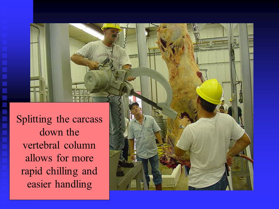 Splitting the carcass down the vertebral column allows for more rapid chilling and easier handling