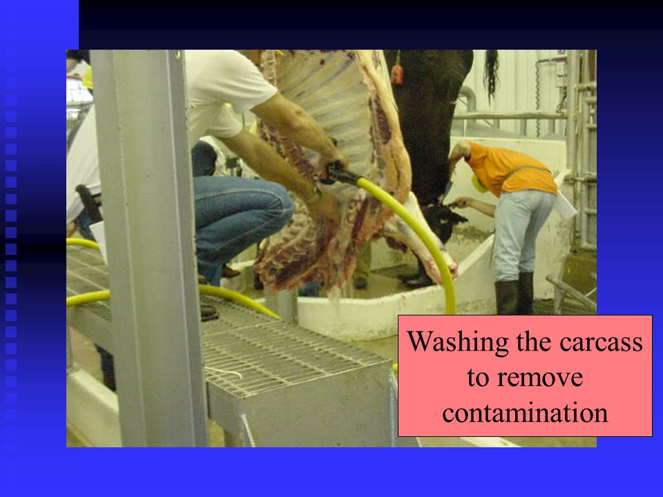 Washing the carcass to remove contamination