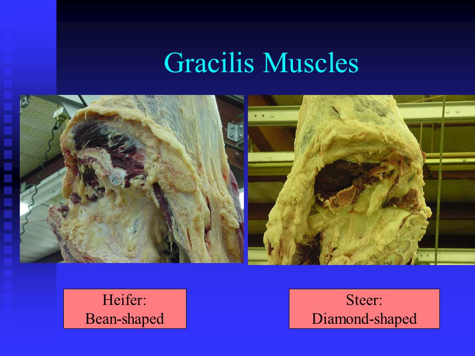 Gracilis Muscles Heifer: Bean-shaped Steer: Diamond-shaped