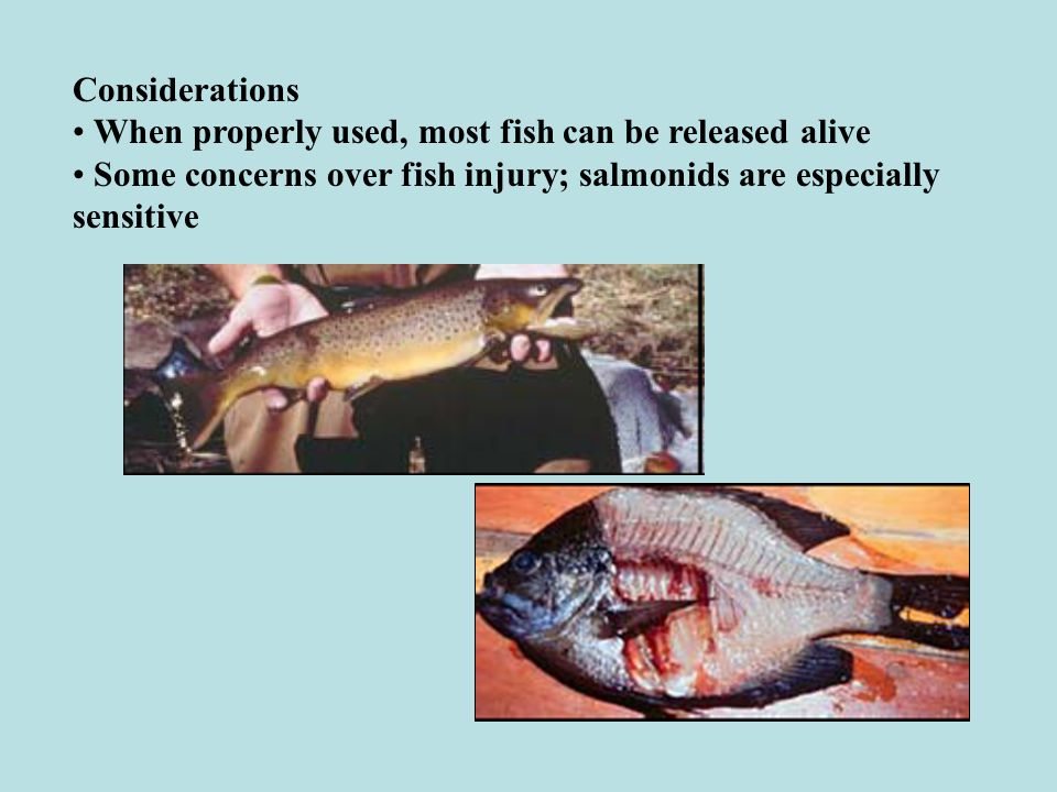 Considerations • When properly used, most fish can be released alive.