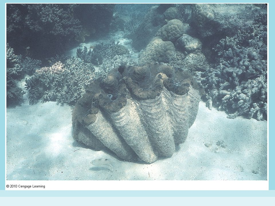 Figure 15-20 GIANT CLAM.