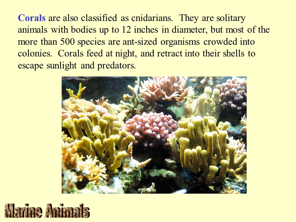 Corals are also classified as cnidarians