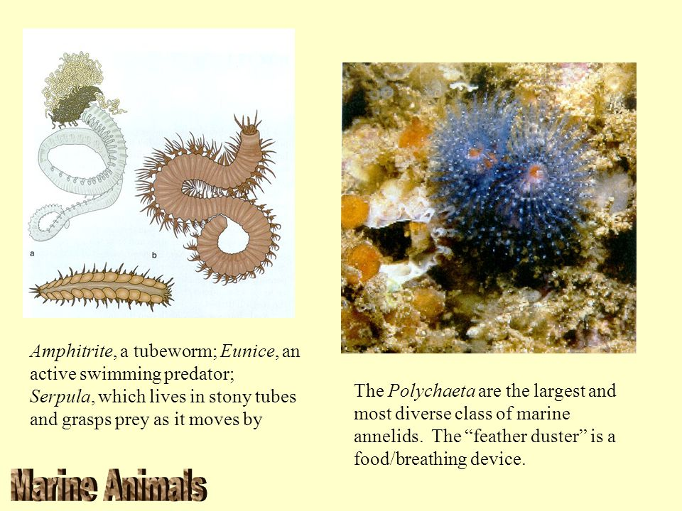 Amphitrite, a tubeworm; Eunice, an active swimming predator; Serpula, which lives in stony tubes and grasps prey as it moves by