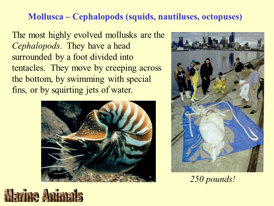 Mollusca – Cephalopods (squids, nautiluses, octopuses)