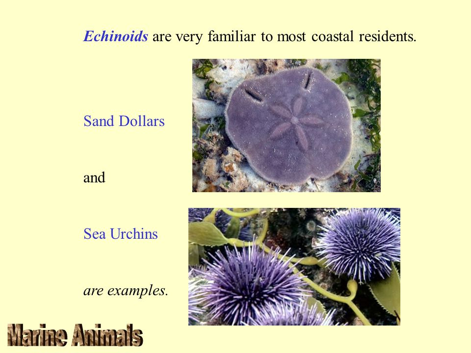 Echinoids are very familiar to most coastal residents.