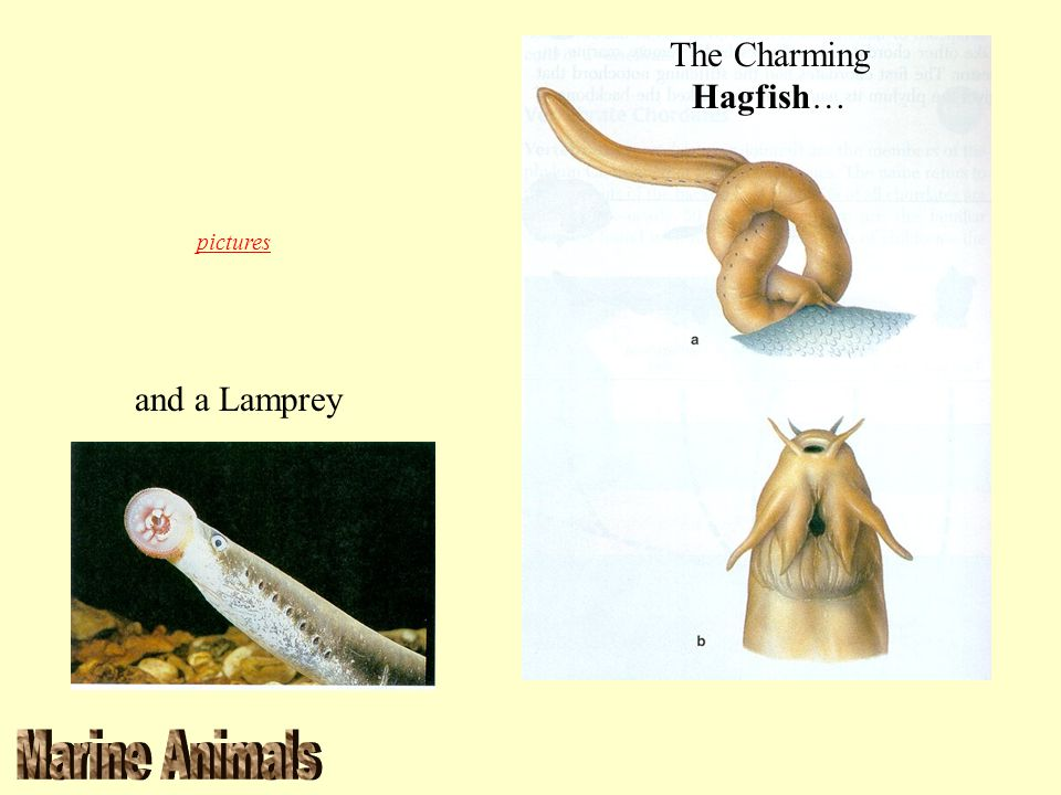 The Charming Hagfish… pictures and a Lamprey