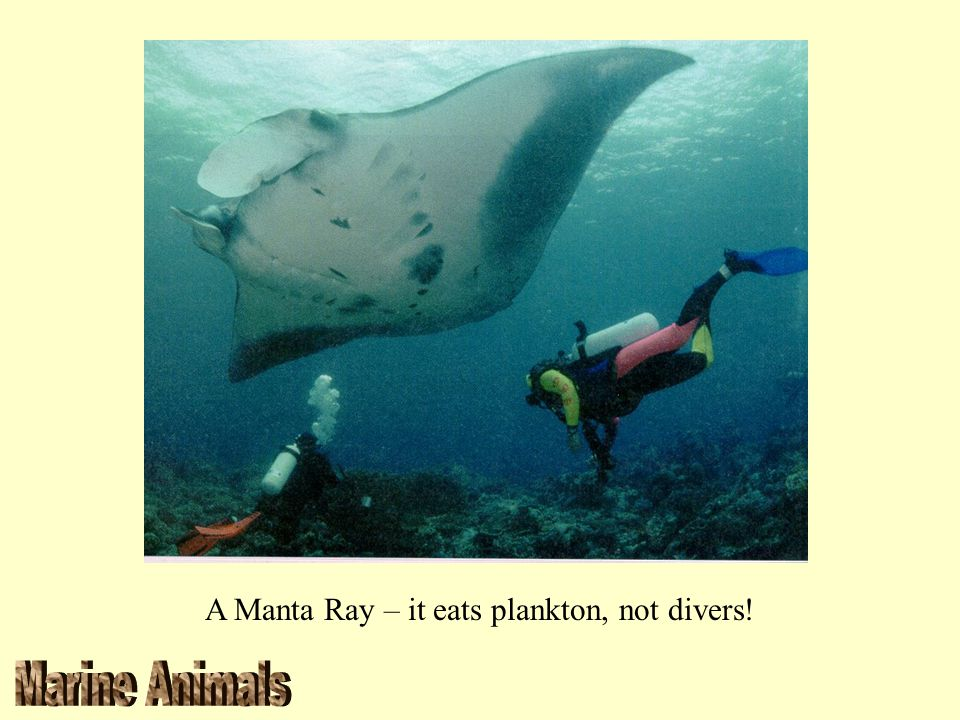 A Manta Ray – it eats plankton, not divers!