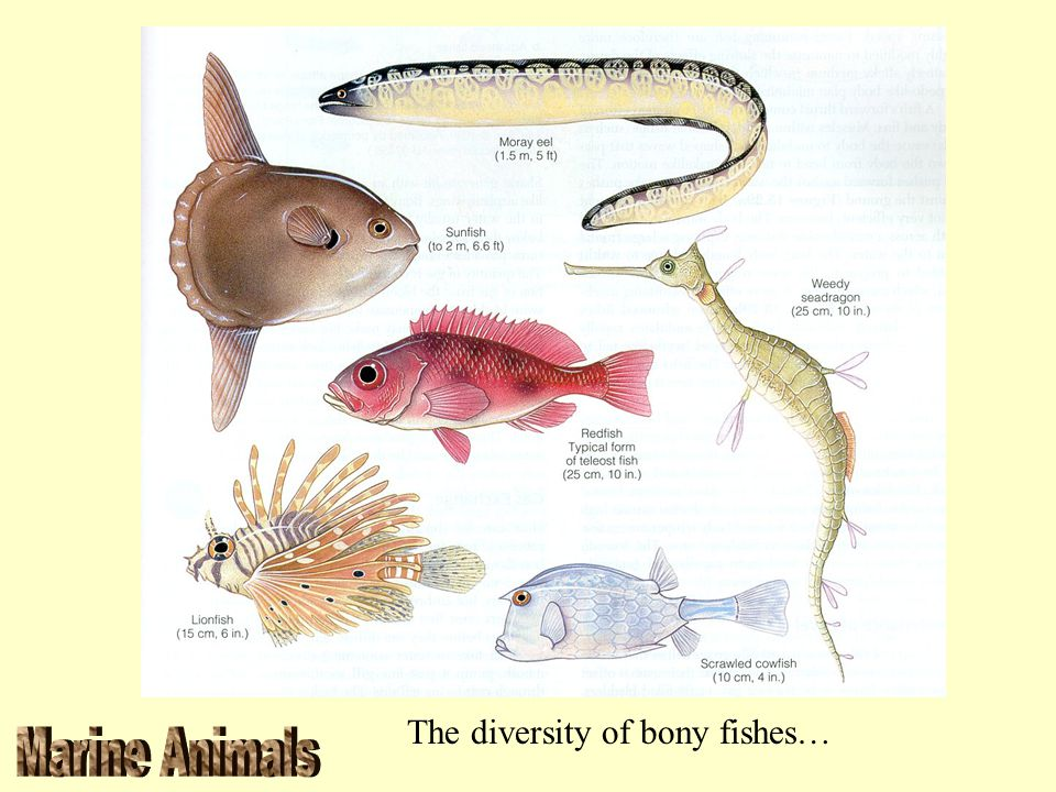 The diversity of bony fishes…