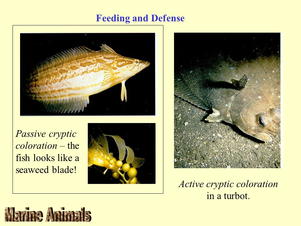 Active cryptic coloration in a turbot.