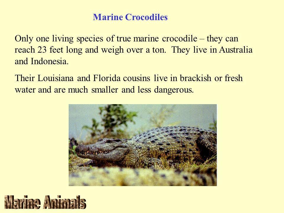 Marine Crocodiles
