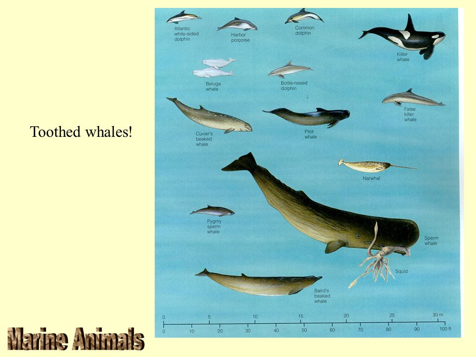 Toothed whales!