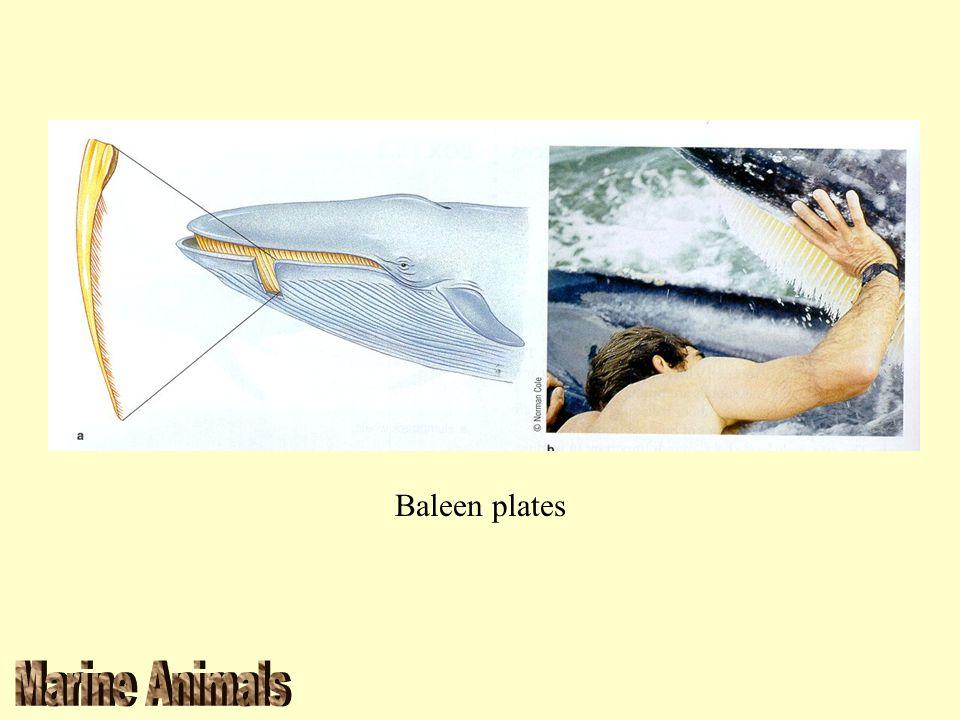 Baleen plates