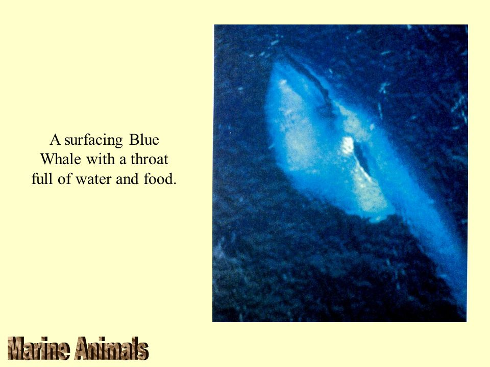A surfacing Blue Whale with a throat full of water and food.