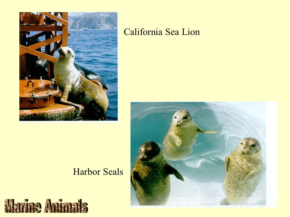 California Sea Lion Harbor Seals