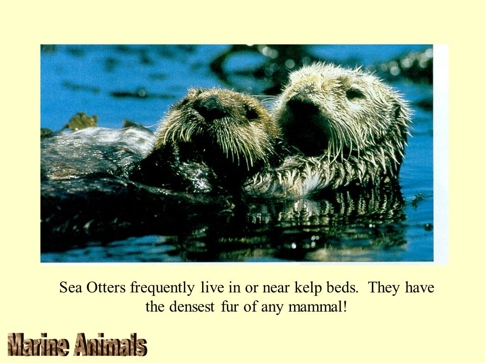 Sea Otters frequently live in or near kelp beds