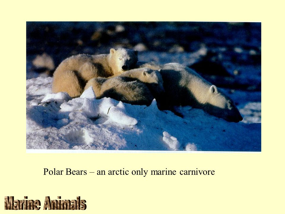 Polar Bears – an arctic only marine carnivore