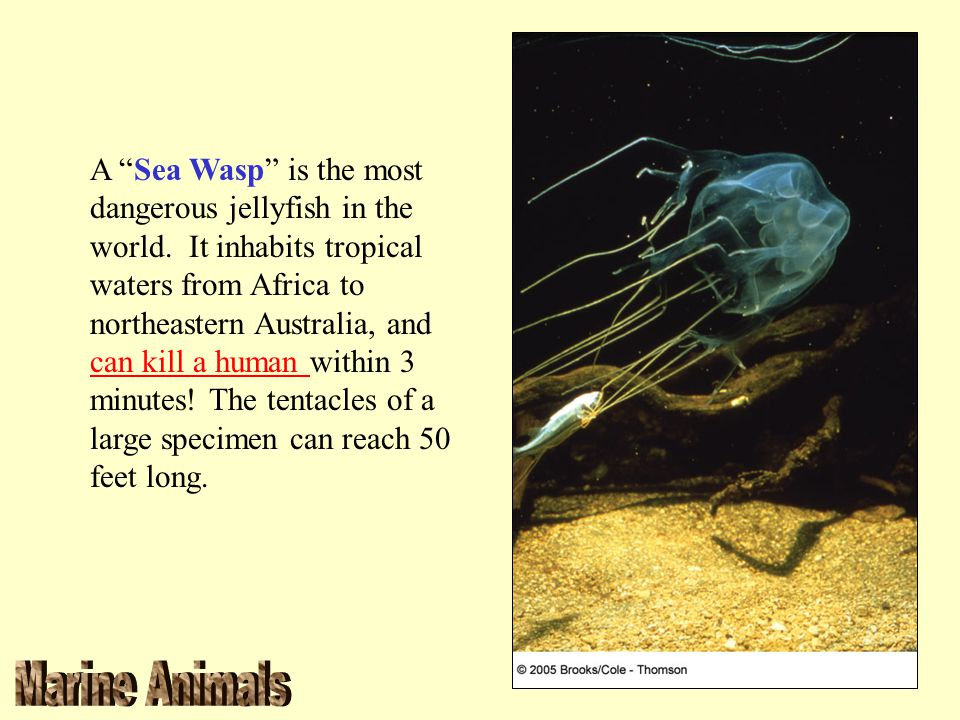 A Sea Wasp is the most dangerous jellyfish in the world