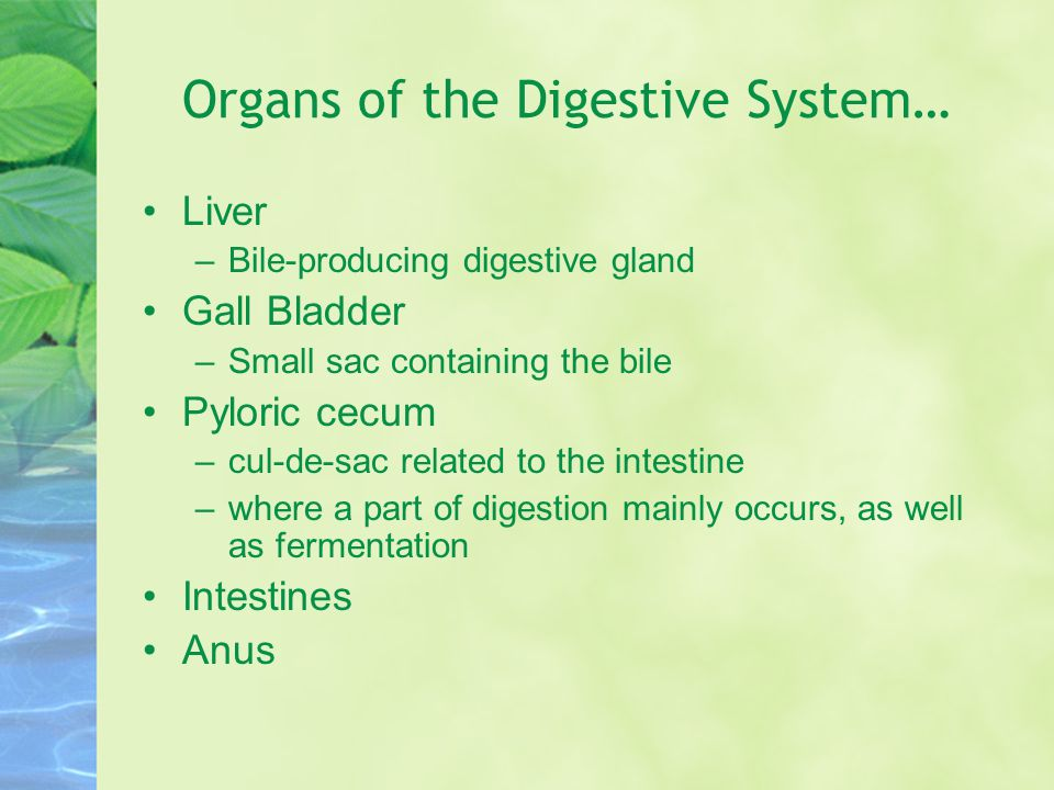 Organs of the Digestive System…