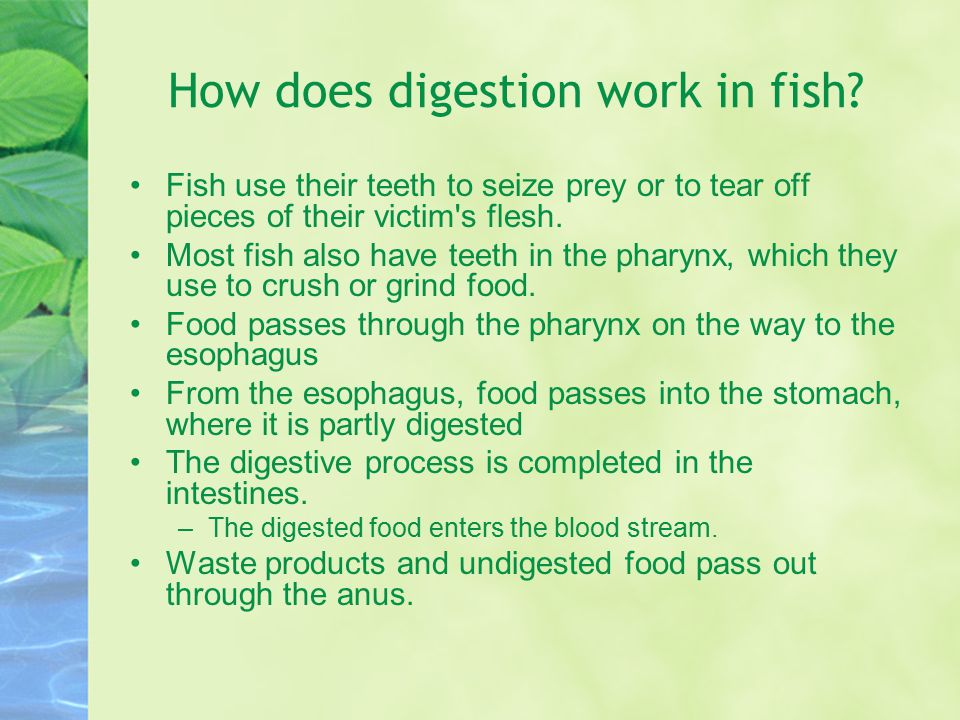 How does digestion work in fish