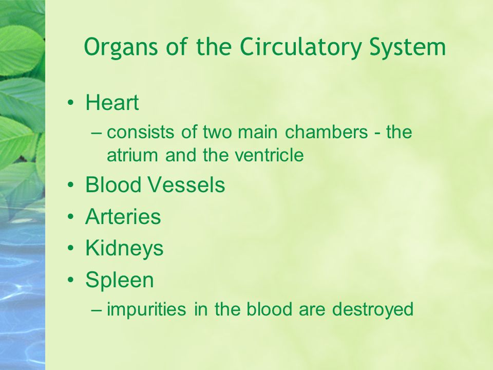 Organs of the Circulatory System