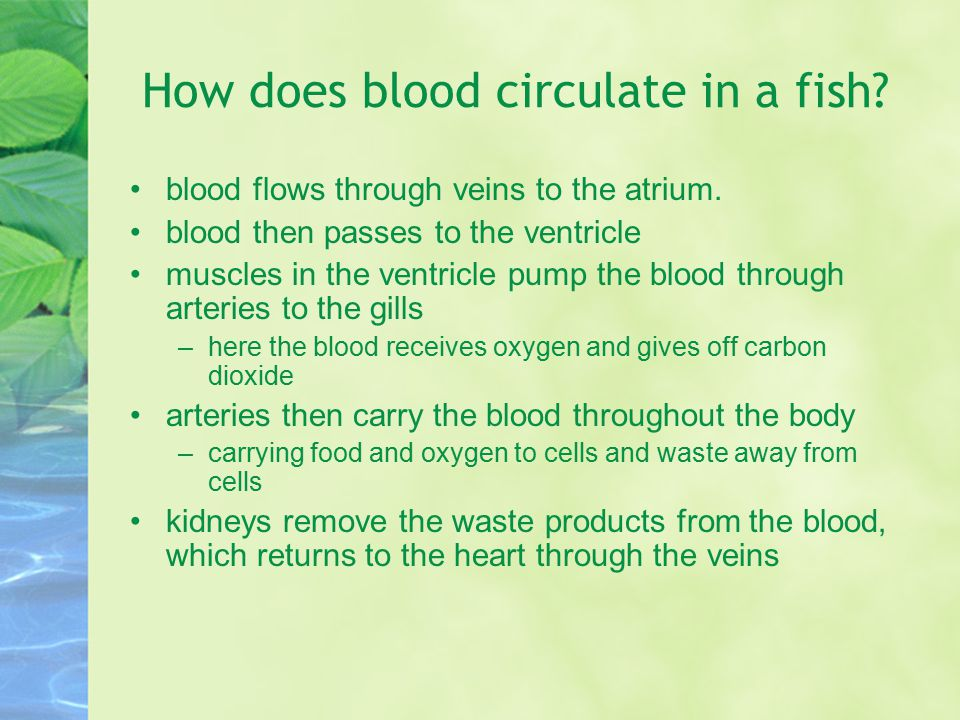 How does blood circulate in a fish