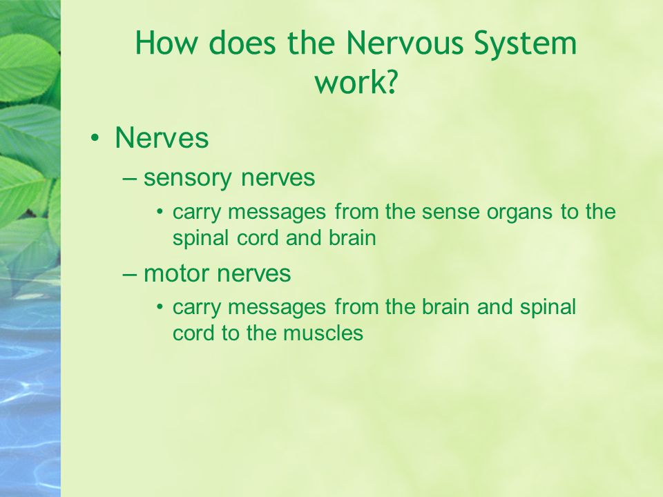 How does the Nervous System work
