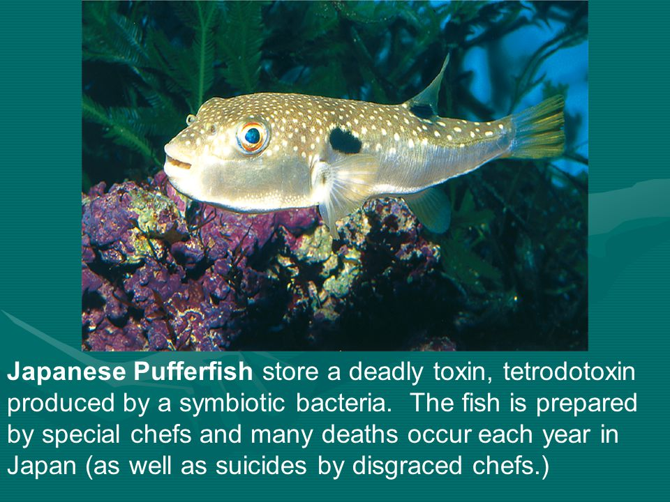 Japanese Pufferfish store a deadly toxin, tetrodotoxin produced by a symbiotic bacteria.