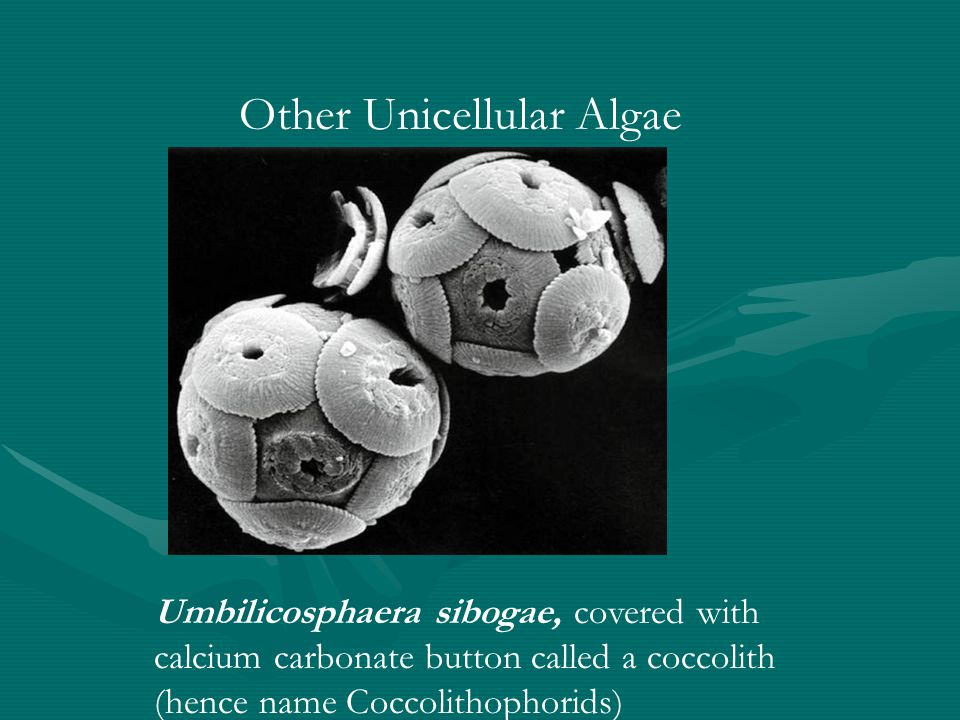 Other Unicellular Algae