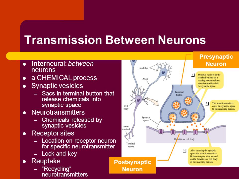 Transmission Between Neurons