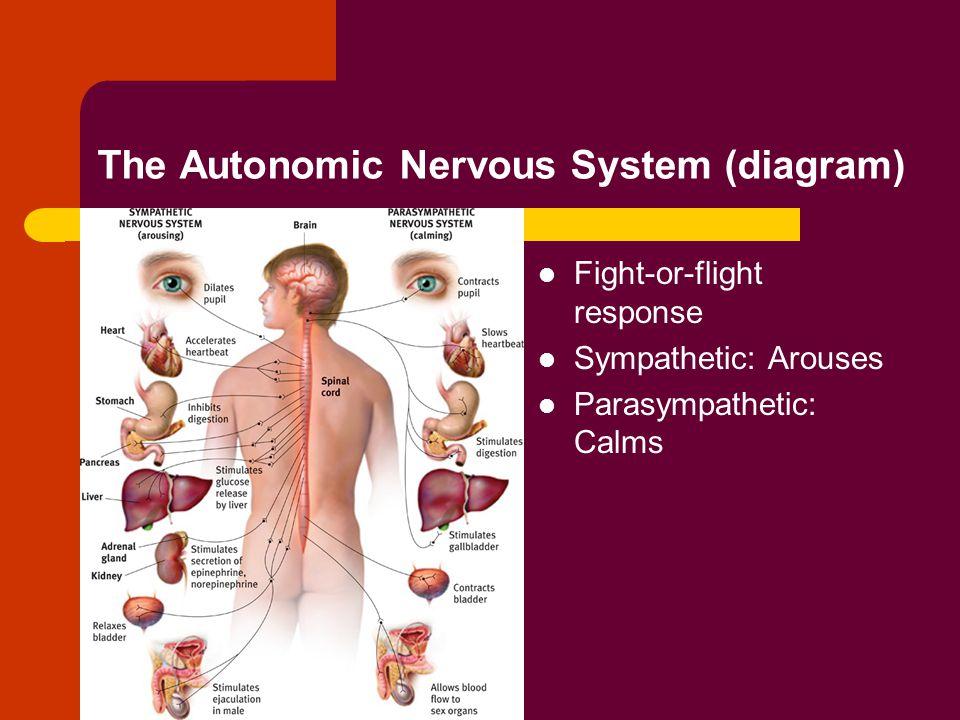 The Autonomic Nervous System (diagram)