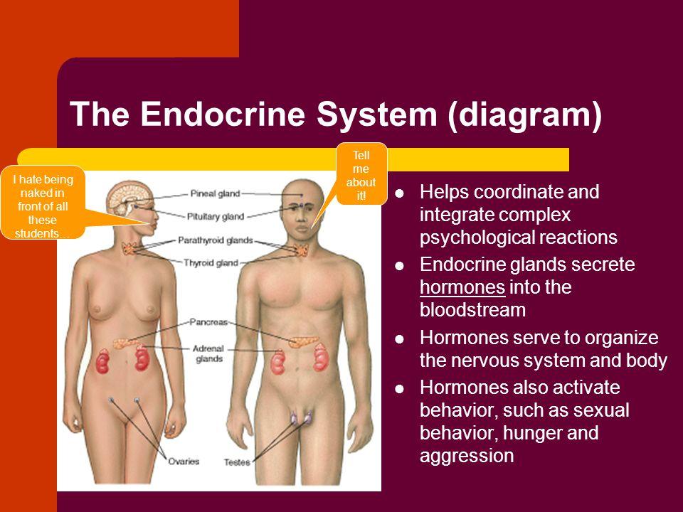 The Endocrine System (diagram)
