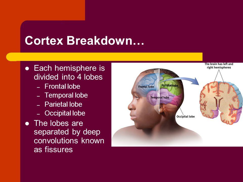 Cortex Breakdown… Each hemisphere is divided into 4 lobes