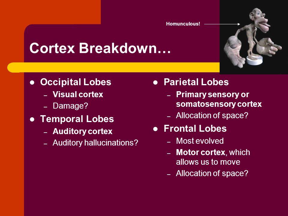 Cortex Breakdown… Occipital Lobes Temporal Lobes Parietal Lobes